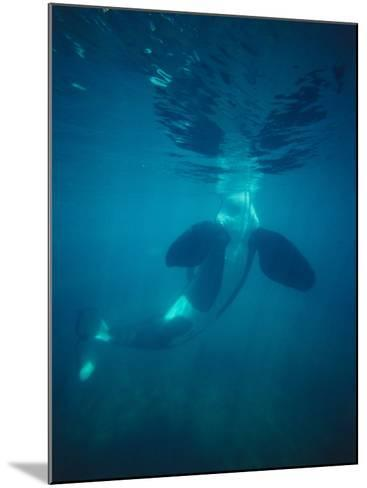 Killer Whale Submerged with Head Above Water-Jeff Foott-Mounted Photographic Print
