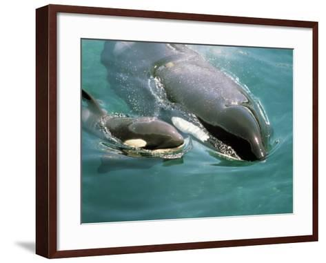 Killer Whale (Orcinus Orca) Mother with Calf-Jeff Foott-Framed Art Print