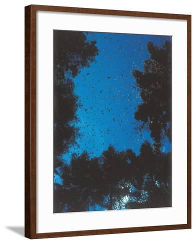 Swarm of Monarch Butterflies Migrate-Jeff Foott-Framed Art Print