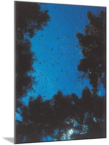 Swarm of Monarch Butterflies Migrate-Jeff Foott-Mounted Photographic Print