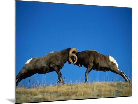 Two Male Bighorn Sheep Butt Heads in an Open Field-Jeff Foott-Mounted Photographic Print