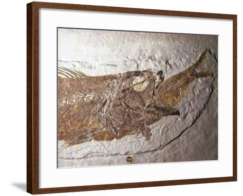 Detailed Fossil of a Mioplosus Swallowing a Small Fish-Jeff Foott-Framed Art Print