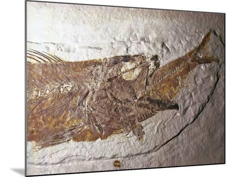 Detailed Fossil of a Mioplosus Swallowing a Small Fish-Jeff Foott-Mounted Photographic Print