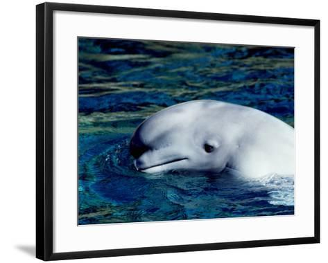 Detail of a Beluga Whale on Surface of Water-Jeff Foott-Framed Art Print