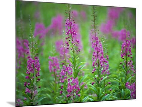 Rocky Mountain Flowers Standing in a Field on a Summer Day-Jeff Foott-Mounted Photographic Print