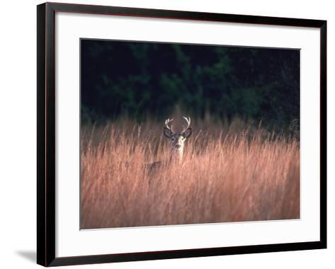 Whitetail Deer Stands in High Wild Grass Hiding-Jeff Foott-Framed Art Print