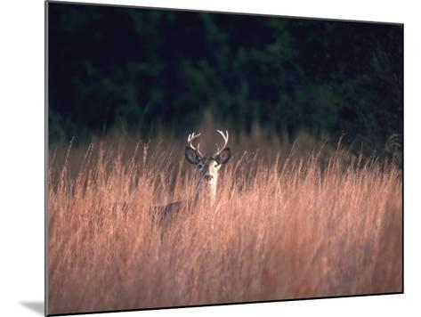 Whitetail Deer Stands in High Wild Grass Hiding-Jeff Foott-Mounted Photographic Print