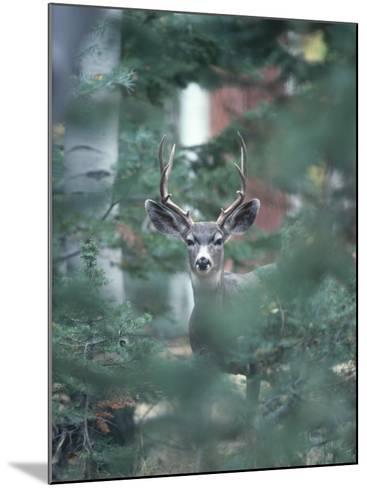 Mule Deer Enjoys Outdoor Winter Fun-Jeff Foott-Mounted Photographic Print