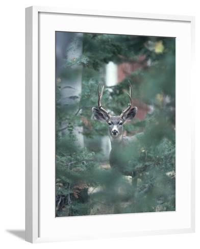 Mule Deer Enjoys Outdoor Winter Fun-Jeff Foott-Framed Art Print