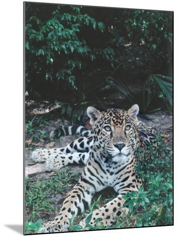 Jaguar Lies on Ground in Tropical Rainforest-Jeff Foott-Mounted Photographic Print