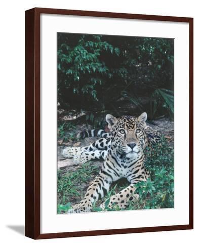 Jaguar Lies on Ground in Tropical Rainforest-Jeff Foott-Framed Art Print