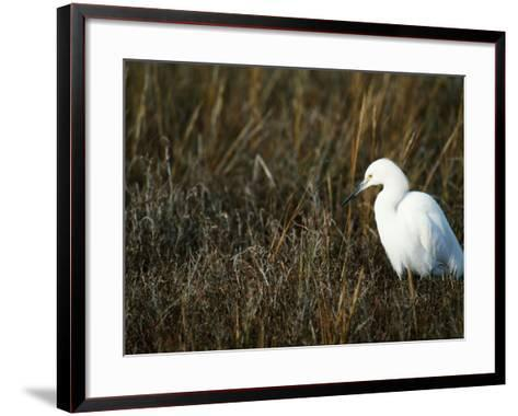 Snowy Egret on the Ground in Wetlands-Jeff Foott-Framed Art Print