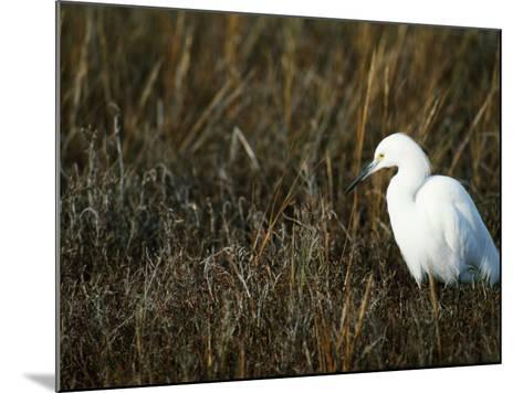 Snowy Egret on the Ground in Wetlands-Jeff Foott-Mounted Photographic Print