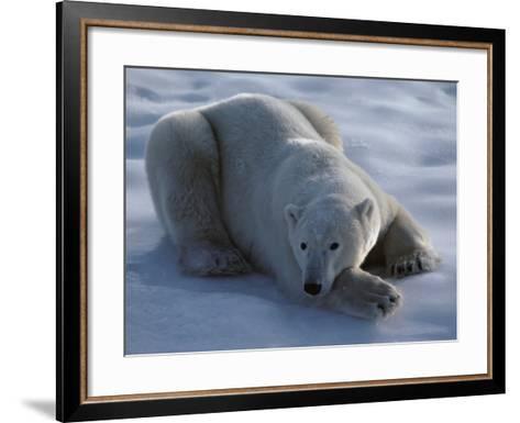 Polar Bear Lies on Ice-Jeff Foott-Framed Art Print