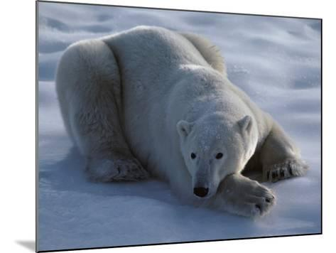 Polar Bear Lies on Ice-Jeff Foott-Mounted Photographic Print