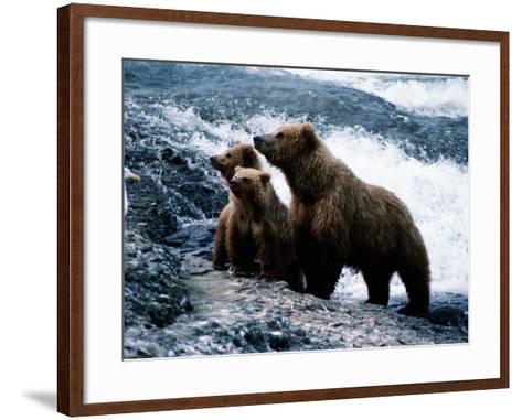 Grizzly Bear, Ursus Arctos, Cubs, Mcneil River, Alaska, Usa-Jeff Foott-Framed Art Print