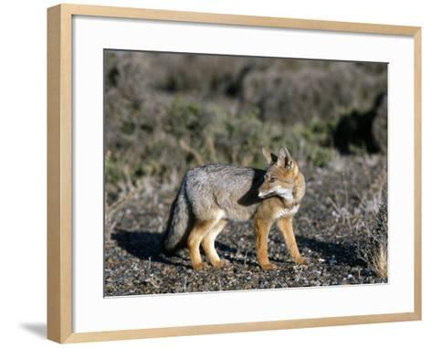 Arctic Fox-Jeff Foott-Framed Art Print