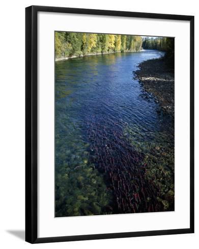 Sockeye Salmon Migrating-Jeff Foott-Framed Art Print
