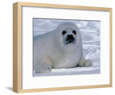 Harp Seal Pup Lays in Snow-Jeff Foott-Framed Art Print