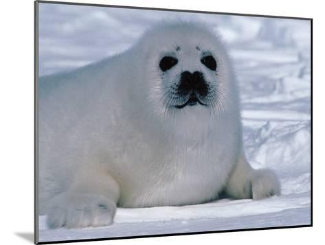 Harp Seal Pup Lays in Snow-Jeff Foott-Mounted Photographic Print