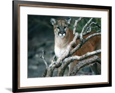 Puma in Sonoran Desert-Jeff Foott-Framed Art Print