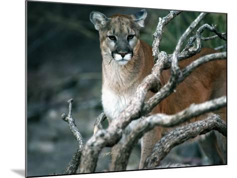 Puma in Sonoran Desert-Jeff Foott-Mounted Photographic Print