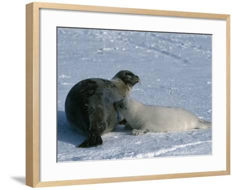 Harp Seal Mother Nurses Pup-Jeff Foott-Framed Art Print