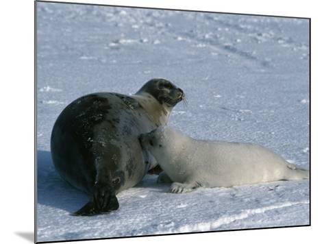 Harp Seal Mother Nurses Pup-Jeff Foott-Mounted Photographic Print