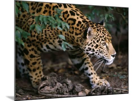 Jaguar-Jeff Foott-Mounted Photographic Print