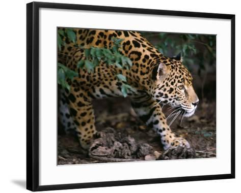 Jaguar-Jeff Foott-Framed Art Print