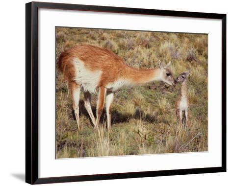 Guanaco Nuzzles Her Newborn, Only Minutes Old-Jeff Foott-Framed Art Print