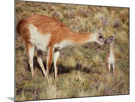 Guanaco Nuzzles Her Newborn, Only Minutes Old-Jeff Foott-Mounted Photographic Print