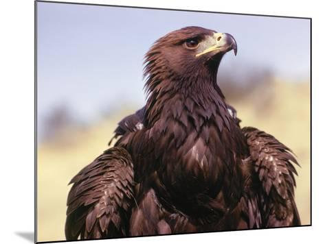 Profile of Golden Eagle-Jeff Foott-Mounted Photographic Print