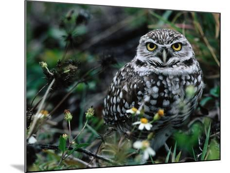 Burrowing Owl at a Den Site Peers Out from Grass-Jeff Foott-Mounted Photographic Print