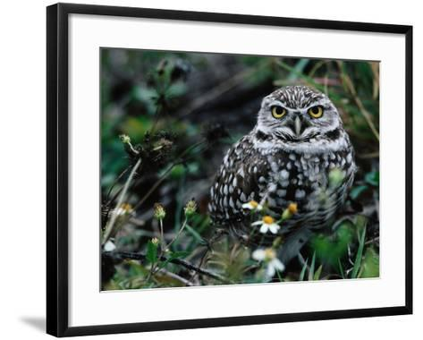 Burrowing Owl at a Den Site Peers Out from Grass-Jeff Foott-Framed Art Print