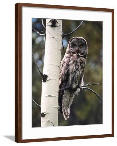 Great Grey Owl Perched in an Aspen Tree in the Daylight-Jeff Foott-Framed Art Print