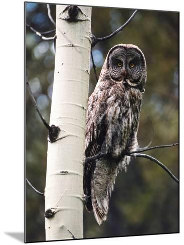 Great Grey Owl Perched in an Aspen Tree in the Daylight-Jeff Foott-Mounted Photographic Print