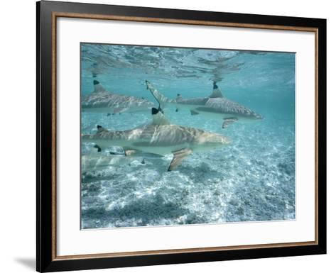 Blacktip Reef Sharks Swim in Shallow Water-Jeff Foott-Framed Art Print