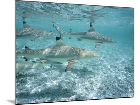 Blacktip Reef Sharks Swim in Shallow Water-Jeff Foott-Mounted Photographic Print