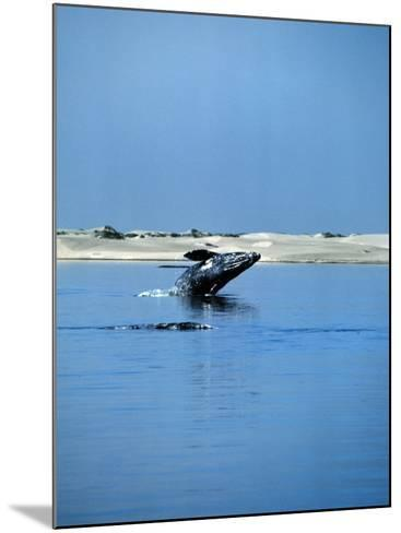 Gray Whale, Eschrichtius Robustus, Breeching, Magdalena Bay-Jeff Foott-Mounted Photographic Print