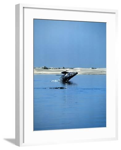 Gray Whale, Eschrichtius Robustus, Breeching, Magdalena Bay-Jeff Foott-Framed Art Print