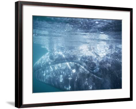 Grey Whale Calf Underwater-Jeff Foott-Framed Art Print