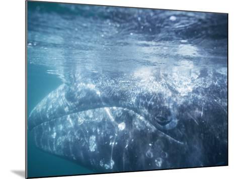 Grey Whale Calf Underwater-Jeff Foott-Mounted Photographic Print