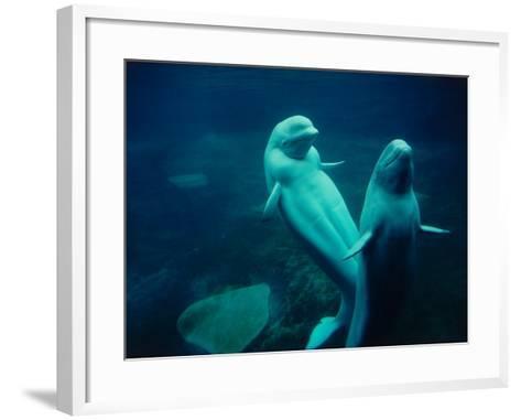 Two Beluga Whales Underwater-Jeff Foott-Framed Art Print