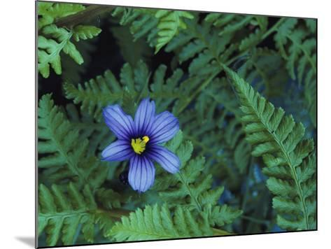 Detail of Blue-Eyed Grass-Jeff Foott-Mounted Photographic Print