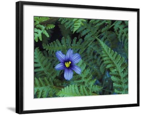 Detail of Blue-Eyed Grass-Jeff Foott-Framed Art Print