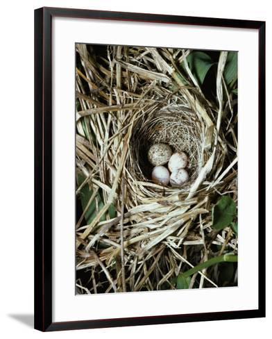 Brown-Headed Cowbird Egg in Nest of Macgillivaray's Warbler-Jeff Foott-Framed Art Print