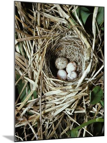 Brown-Headed Cowbird Egg in Nest of Macgillivaray's Warbler-Jeff Foott-Mounted Photographic Print
