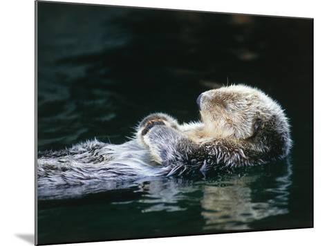 Sea otter sleeps while floating on back-Jeff Foott-Mounted Photographic Print