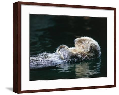 Sea otter sleeps while floating on back-Jeff Foott-Framed Art Print